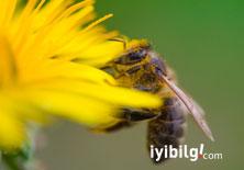 Arı poleninin faydası saymakla bitmiyor!